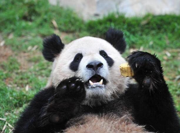 熊猫背粽子卡通图片