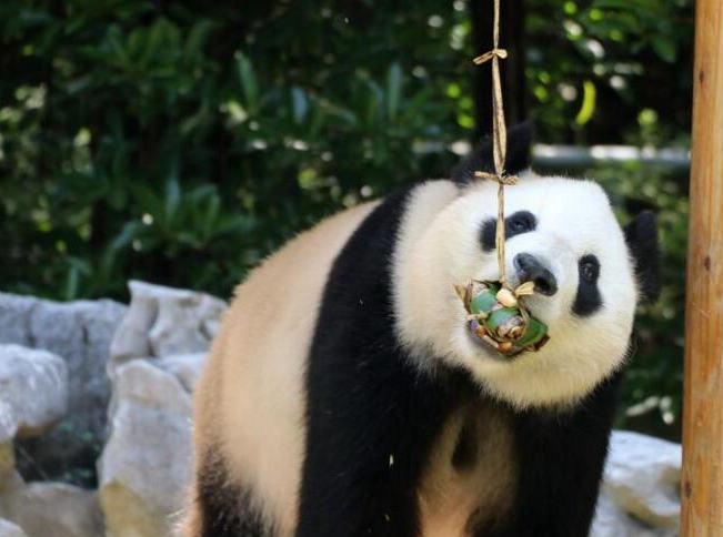 大熊猫吃粽子迎端午