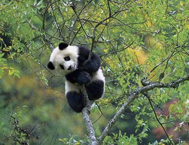 本月27日,4只大熊猫将正式亮相沈阳森林动物园